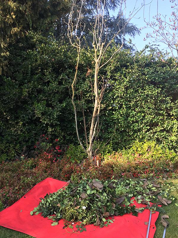 privet-hedge01